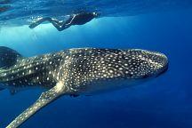 В акватории провинции Чумпхон появились китовые акулы